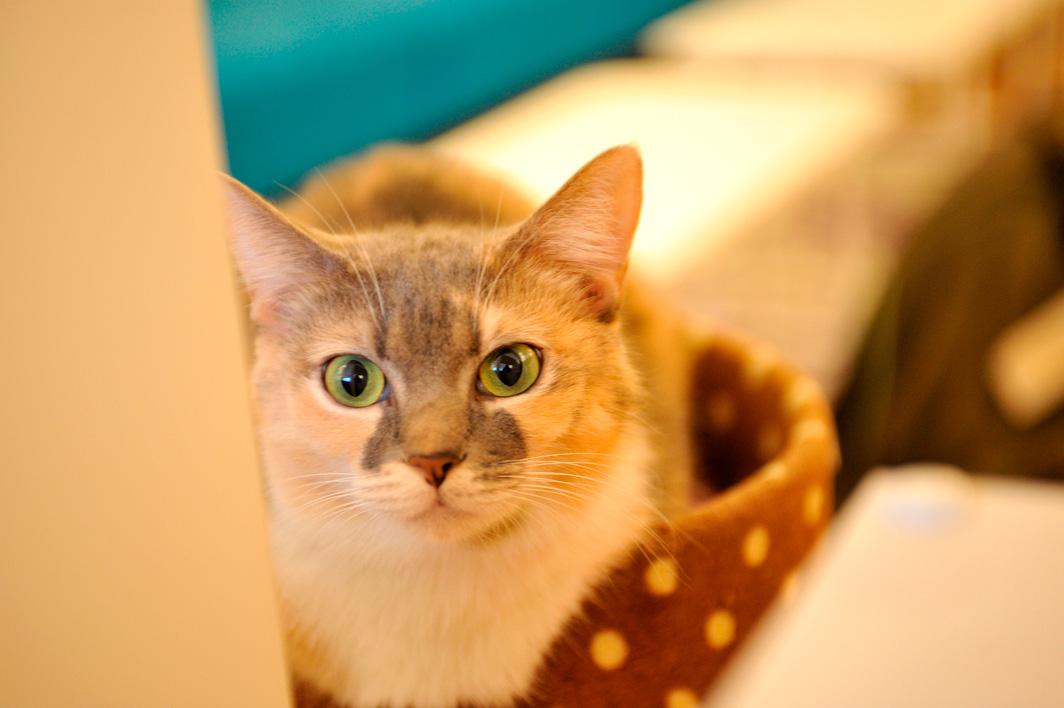 кошачье кафе в Японии