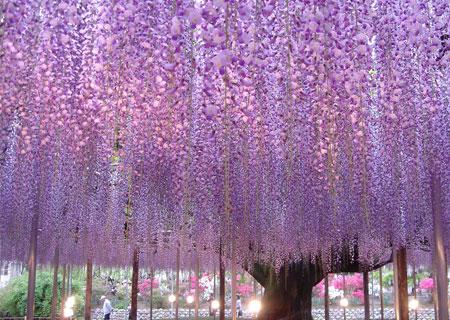 Под пурпурным дождём мириад японских лиан