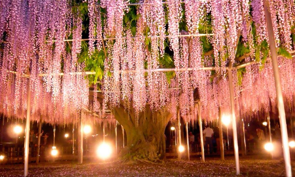 Глицинии в Японии