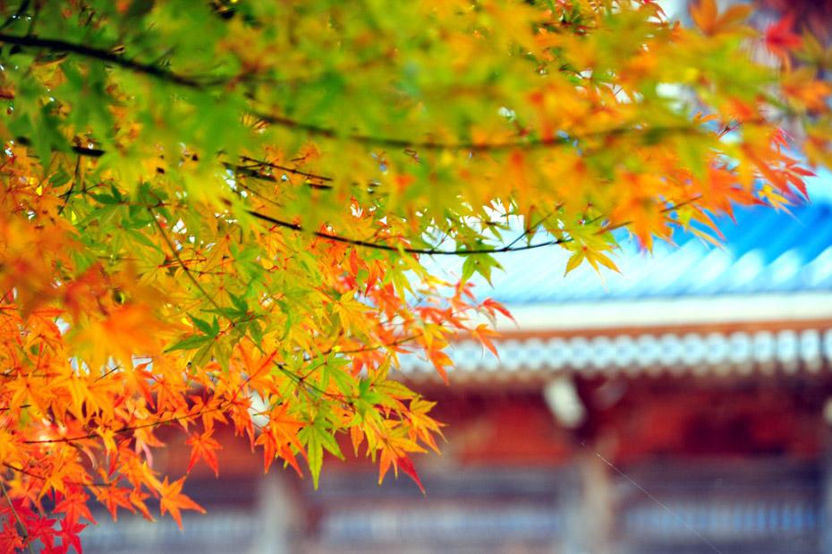 Японская осень. Любование клёнами