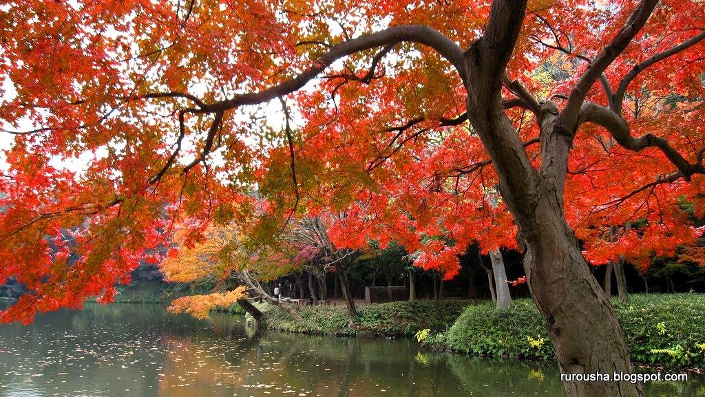 Японская осень. Клёны в Японии. Парк Коисикава Коракуэн