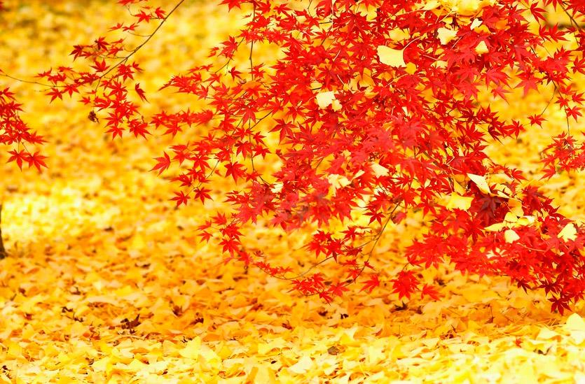Японская осень. Клёны в Японии