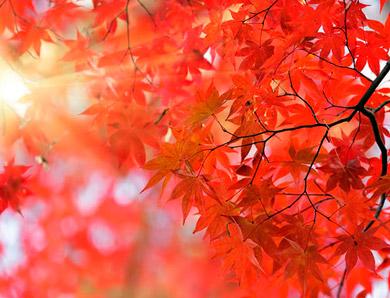 Момидзи багряные листья кленов