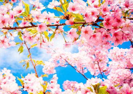 Любование сакурой – древняя традиция Ханами